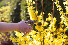 Woman Cut Forsythia Shrub In The Bright Sun With Pruning Scissors, Cutting Flowers In Spring Time