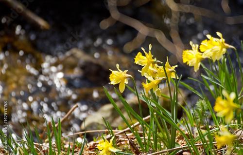 Fotografia  Gelbe Wildnarzissen im Nationalpark Eifel