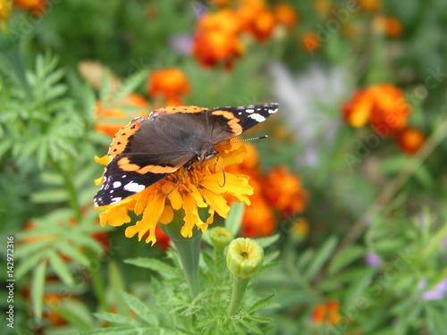 Plakat Motyl monarcha zbiera nektar z nagietków. Tło dla komputera lub telefonu komórkowego z pięknym motylem na żółtych kolorach. Motyl otworzył skrzydła.
