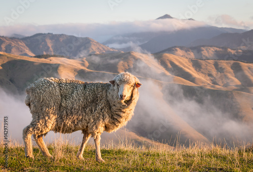 closeup of grazing merino sheep with mountains at sunset