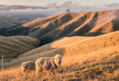 Canvas Prints New Zealand merino sheep grazing on Wither Hills in New Zealand at sunset