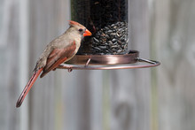 Female Cardinal Bird Eating Seed From A Bird Feeder.