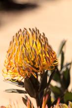 Goldfinger Pincushion Protea Flower