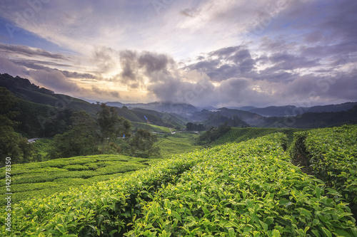 Foto op Canvas Lavendel Tea plantation Cameron highlands, Malaysia