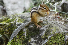 Chipmunk Eating In Natural Hab...