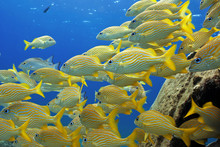 Schooling Yellow Fishes