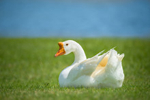 White Chinese Goose Also Known...