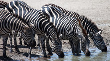 Four Zebras Drinking At Wateri...
