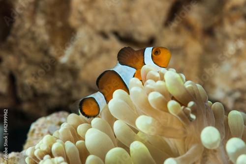 Láminas  peculiar clown fish hosting on anemone