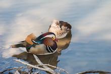 Pair Of Mandarin Duck (Aix Gareliculata)