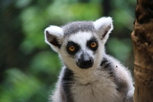 The Ring-tailed Lemur (Lemur Catta) Is A Large Strepsirrhine Primate And Has A Long, Black And White Ringed Tail. Like All Lemurs The Animal Is Endemic To The Island Of Madagascar.