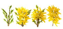 Forsythia Blossom. Spring Flow...