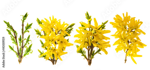 Photo Forsythia blossom. Spring flowers white background