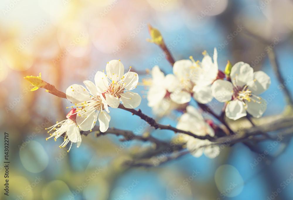 Pear blossoms in spring - obrazy, fototapety, plakaty