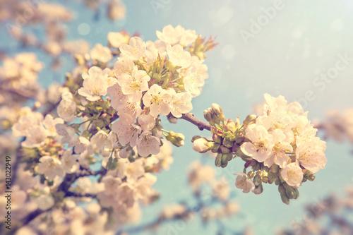 Foto-Tapete - Cherry blossoms in spring (von Elena Schweitzer)