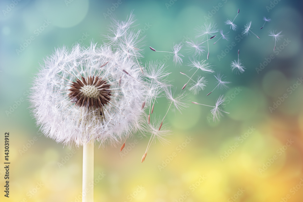 Fototapety, obrazy: Dandelion clock in the morning sun