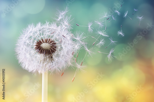 Foto auf Gartenposter Lowenzahn Dandelion clock in the morning sun
