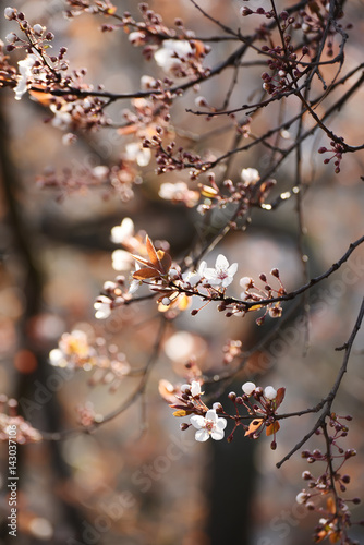 Branches of a lush blossoming decorative apple tree in early spring. A gentle photo with a soft focus. Beautiful gentle background in brown shades.