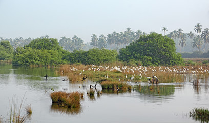FototapetaFlock of white eastern great egrets and cormorants hunt for fish and other insects in a picturesque lake and marshy area with dry reed grass in Goa, India.