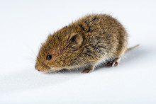 Close Up On Brown Field Mouse Isolated On White