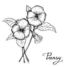 Pansy Botany Illustration