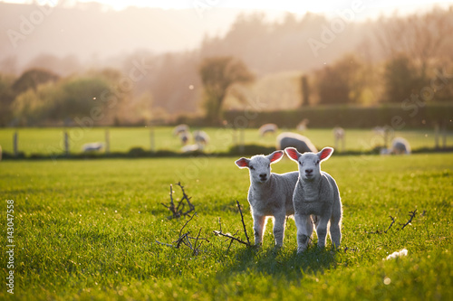 Obraz na plátně spring Lambs in countryside in the sunshine, brecon beacons national park