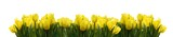 Fototapeta Tulipany - Gelbe Tulpen auf Weiß