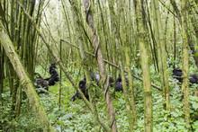 Mountain Gorilla Group In Volc...