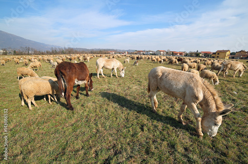 donkeys with brown and white fur grazing with sheep