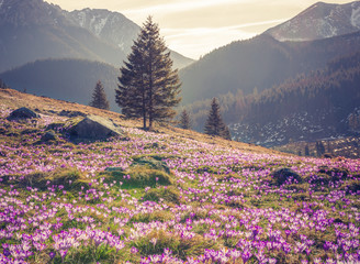 Fototapeta Krajobraz Tatra mountains, Poland, crocuses in Chocholowska valley, spring