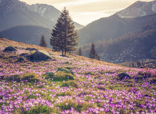 Tatra mountains, Poland, crocuses in Chocholowska valley, spring - 143090317