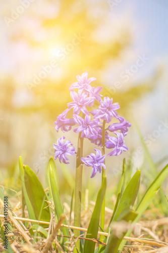 Background Of Tender Violet Purple Flowers Hyacinths Closeup On Blue