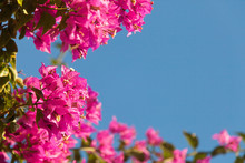 Frame Of Pink Bougainvillea Fl...
