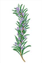 Sprig Of Flowering Rosemary