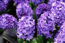 Close Up On Purple Hyacinth Fl...
