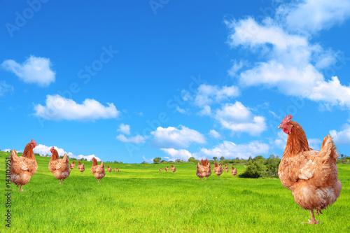 Keuken foto achterwand Kip Galline nel campo