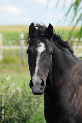 Valokuva  Bay or black horse, close up head shot