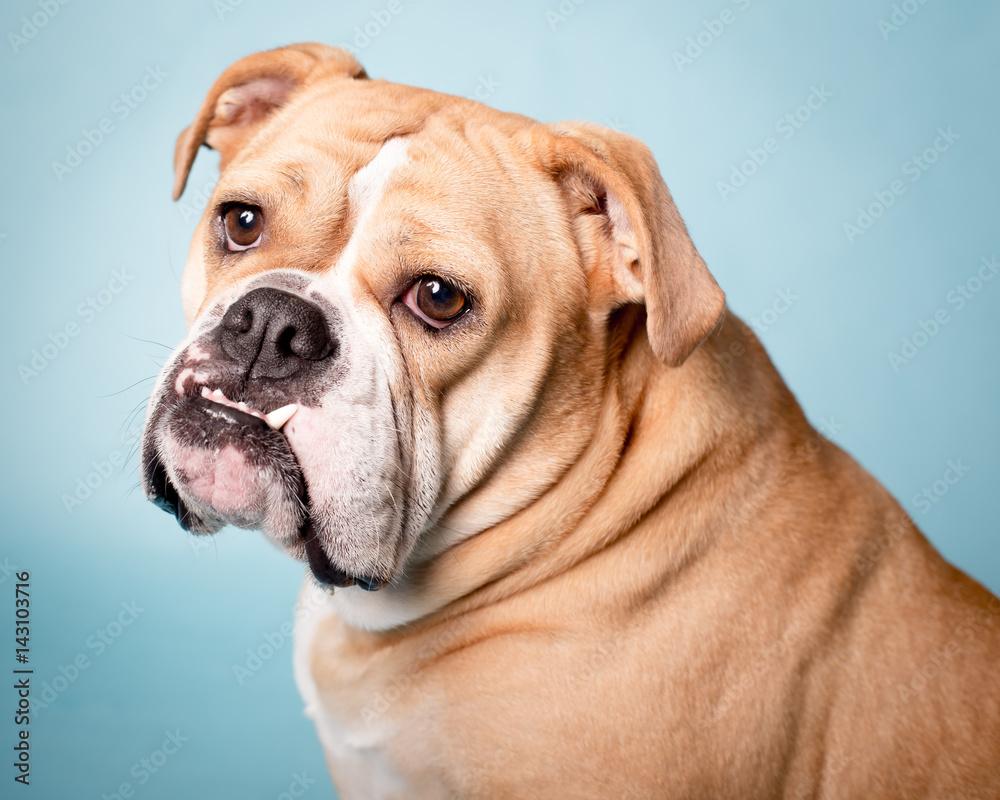 Fototapety, obrazy: Bulldog