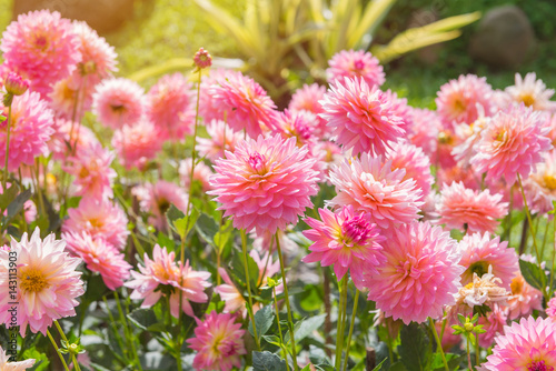colorful of dahlia pink flower in Beautiful garden Poster Mural XXL