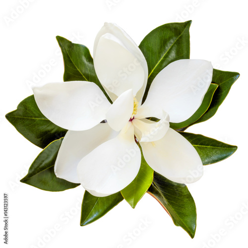 La pose en embrasure Magnolia Magnolia Flower Top View Isolated on White
