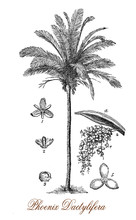 Vintage Engraving Of Date Palm...