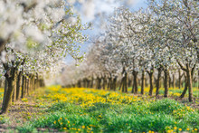 Blossoming Apple  Orchard In S...