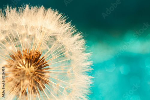 Poster Paardenbloem white dandelion flower with seeds in springtime in blue turquoise abstract backgrouds