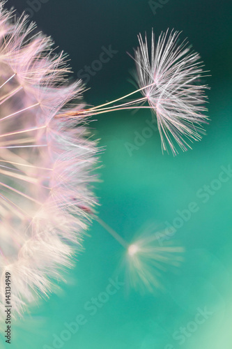 Poster Pissenlit white dandelion flower with seeds in springtime in blue turquoise abstract backgrouds