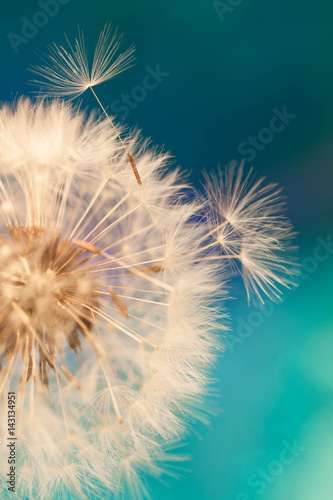 Foto auf Gartenposter Lowenzahn white dandelion flower with seeds in springtime in blue turquoise abstract backgrouds