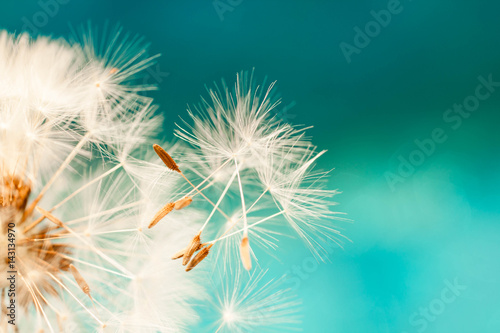 Montage in der Fensternische Lowenzahn white dandelion flower with seeds in springtime in blue turquoise abstract backgrouds