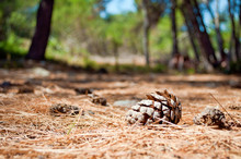 One Dry Brown Pine Cone Lying On The Ground Among Many Spruce Needles In The Forest Against Green Foliage And Blue Sky