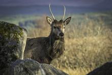 Highland Deer On Rannoch Moor