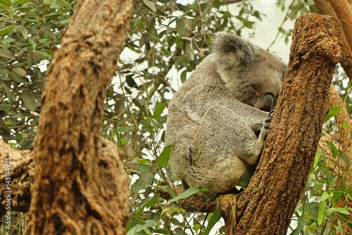 Poster Oceanië sleeping koala on eucalyptus tree