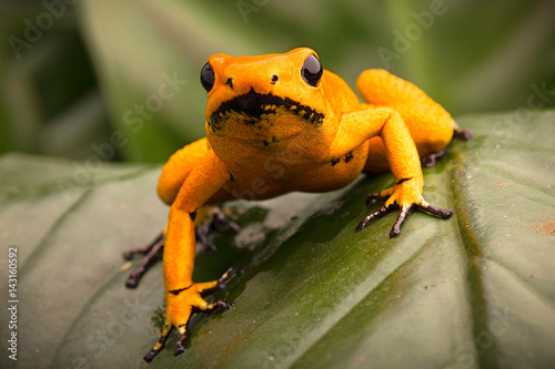 poison dart frog, Phyllobates terribilis orange. Most poisonous animal from the Amazon rain forest in Colombia, a dangerous amphibian with warning colors. .